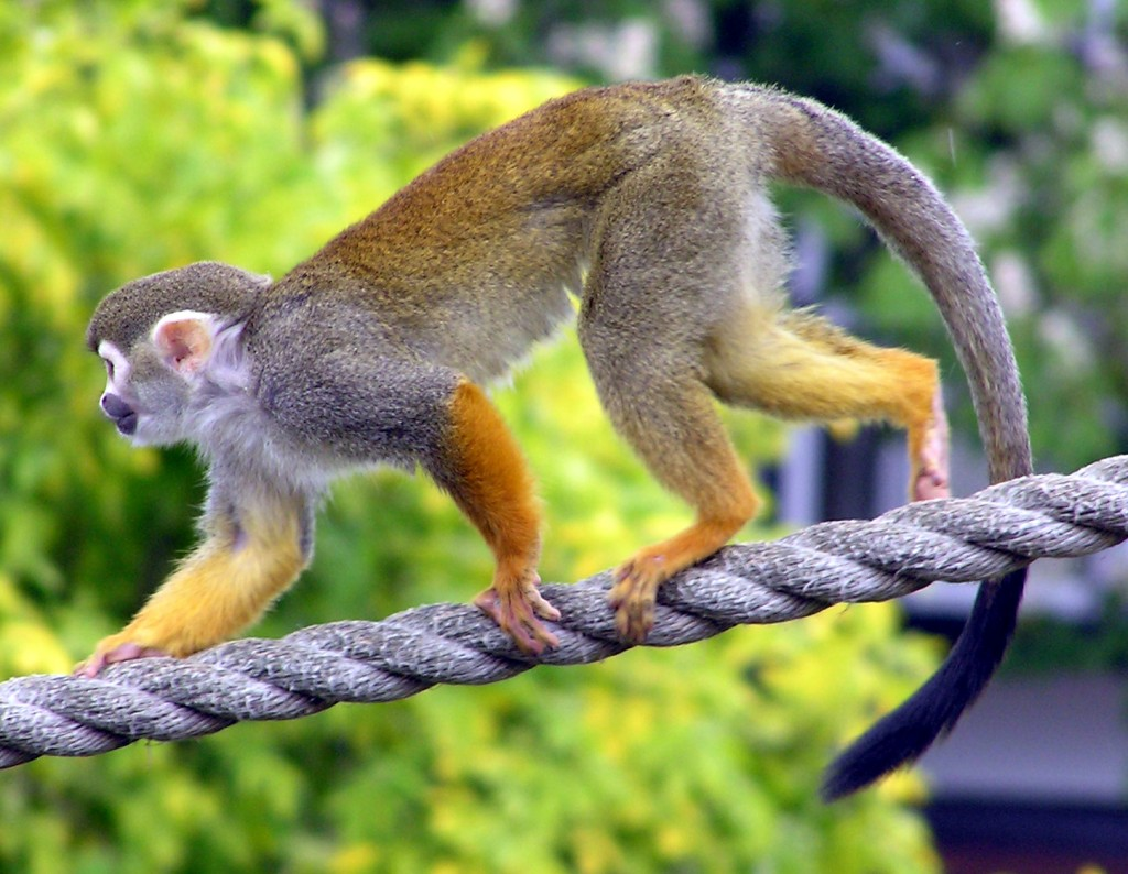 A monkey climbing on a rope